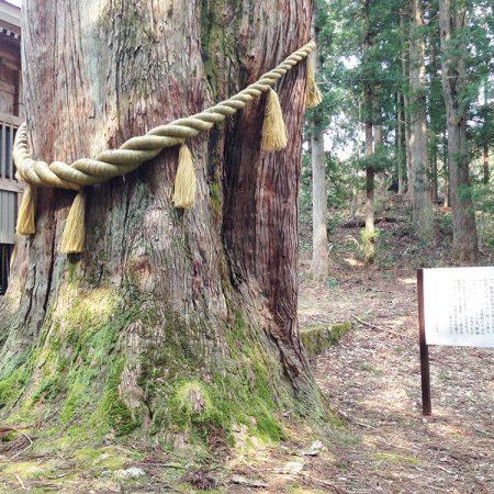 Sakaue Great Cedar (Sakaue no Oosugi)
