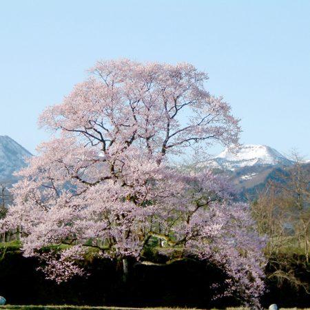 Mukaino Cherry Blossom