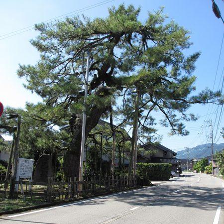 Tomoezuka Pine(Tomoezuka no Matsu)
