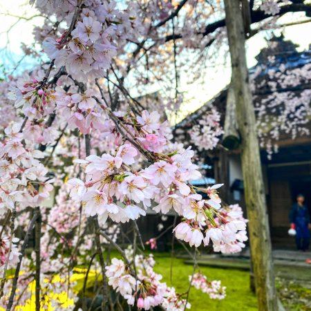 南砺の桜 2020